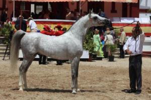 caballo+írabe