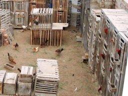pollos-pelea