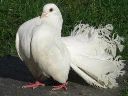 colipavos
