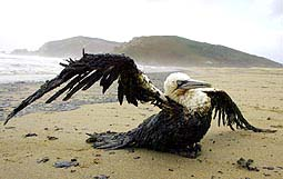 AN OIL-SOAKED BIRD FLAPS ITS WINGS ON AN OIL-COATED BEACH IN NORTHERN SPAIN